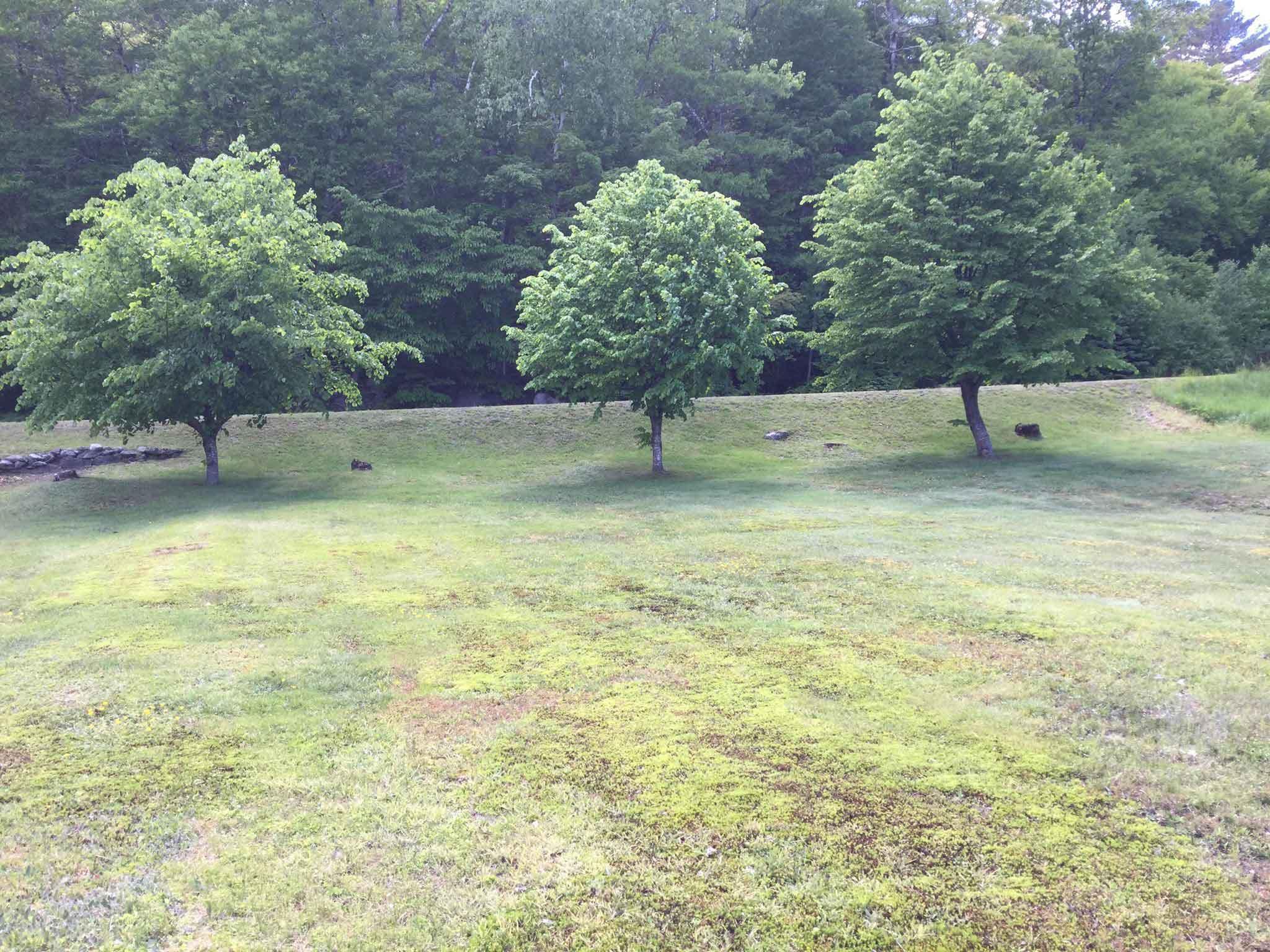 Maggie's-linden-trees