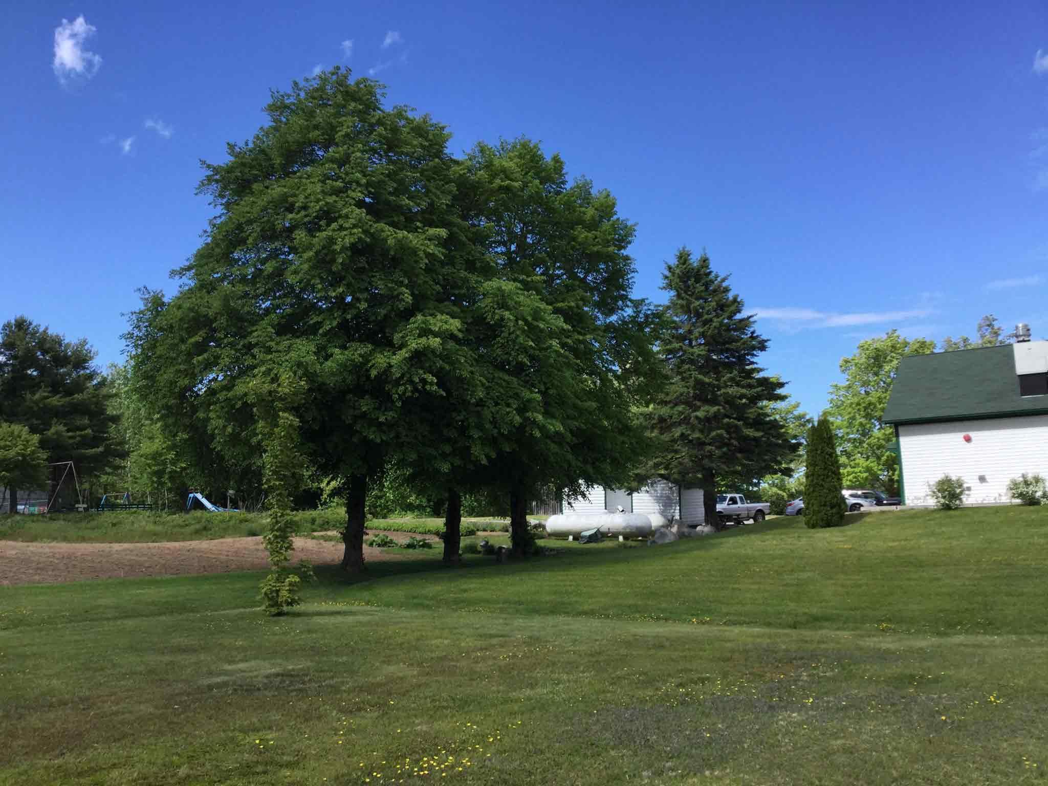 linden-trees